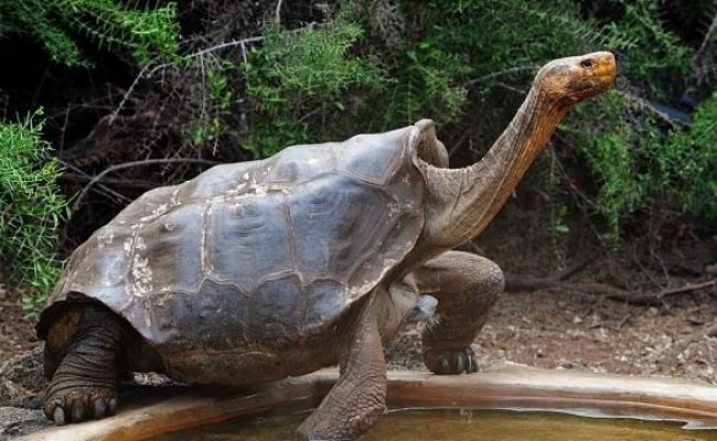 galapagos-tortoise-1-3856102200galapagos-tortoise-000578-3788645-image-a-31_1473841496795